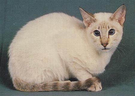 Carácter el siamés está considerado como uno de los gatos más inteligentes que se habitúa rápidamente a las costumbres de sus amos y puede ser llevado a
