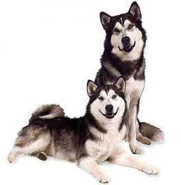 Adivina la raza del perro Alaskanmalamute2