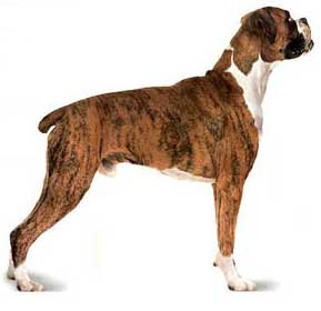 http://www.salonhogar.com/ciencias/animales/perros/images/boxer2.jpg